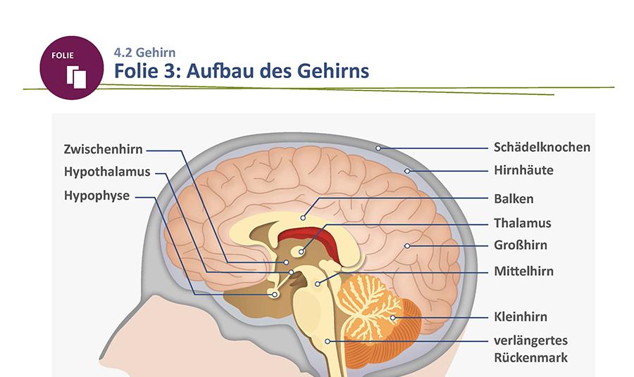 Großartig Anatomie Und Physiologie Kapitel 14 Antworten Ideen ...