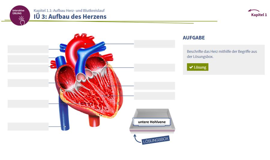 Fantastisch Anatomie Des Herzens Leitungssystem Fotos - Menschliche ...