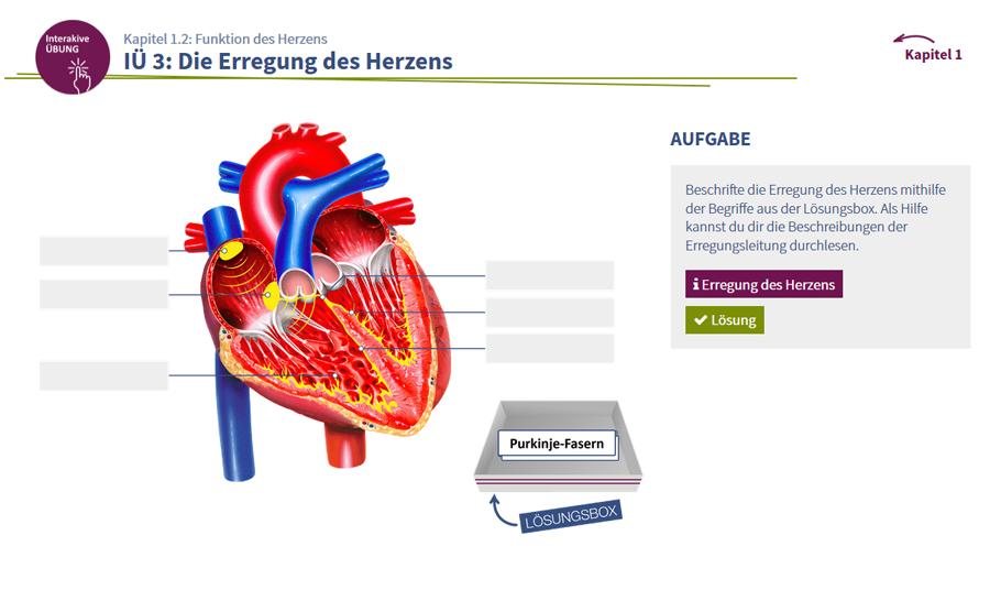 Gemütlich Ein Diagramm Des Herzens Ideen - Menschliche Anatomie ...